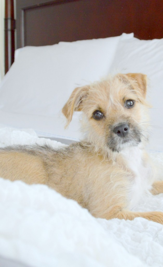 Brussels Griffin terrier mix rescue dog so sweet
