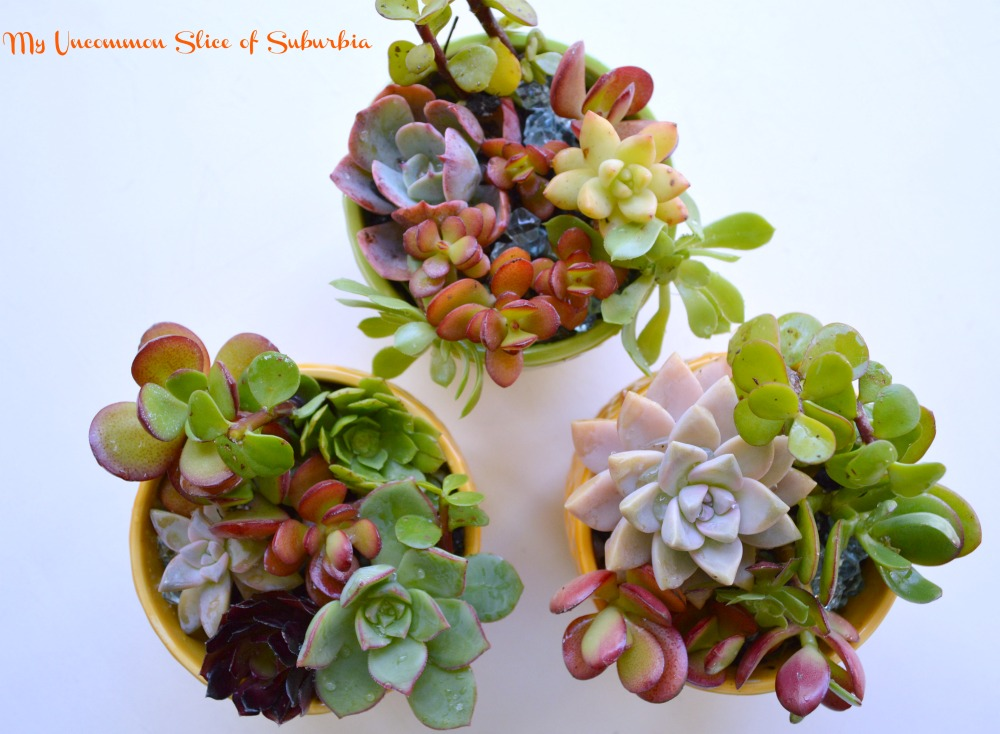 Great tips on growing Succulents