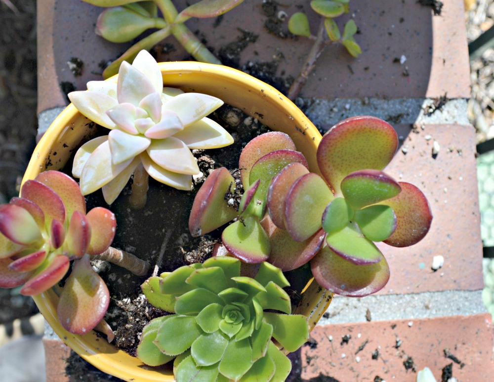 Step by step tutorial on growing succulents indoors
