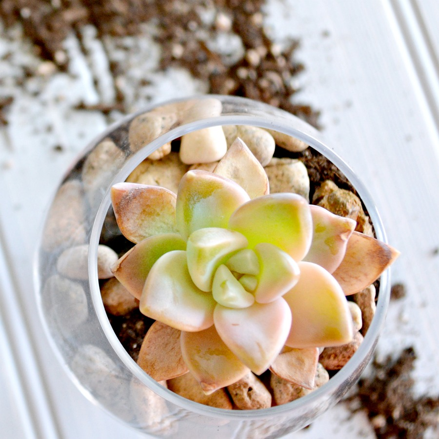 mini succulents so easy to make