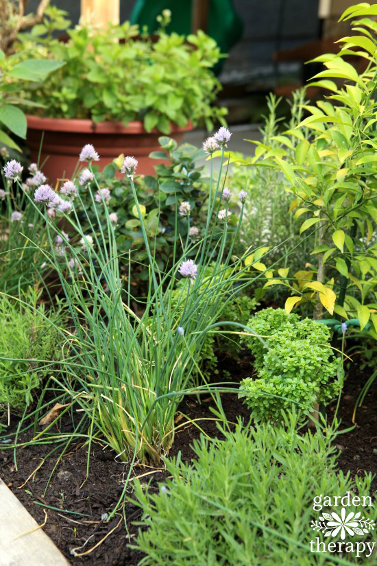 Chives-and-lavender-