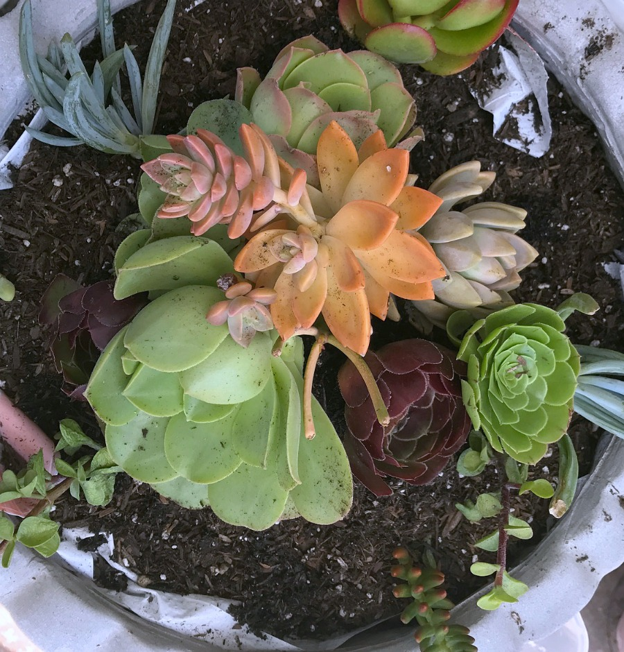 A great step by step tutorial with pictures that shows how to make this beautiful succulent garden.